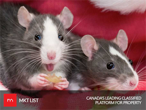 Vancouver : The Rattiest City in the World!