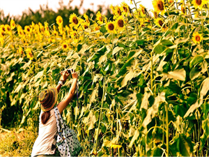 After Tulip Here Comes the Magnificent Sunflower Festival but When and Where?